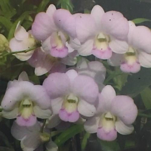 Orchidea Dendrobium Chiangmai Pink 1031