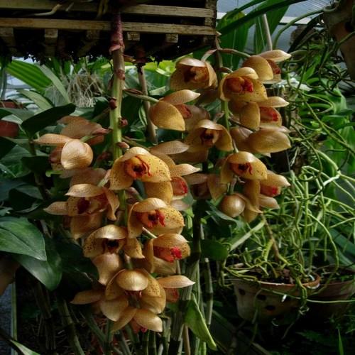 Orchidee acineta superba