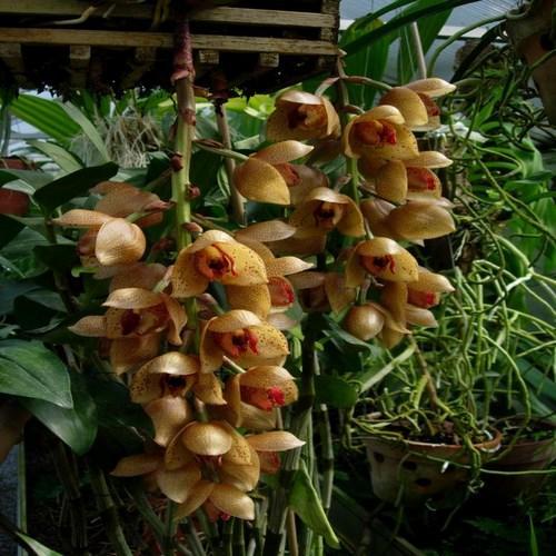 Orquídea Acineta superba