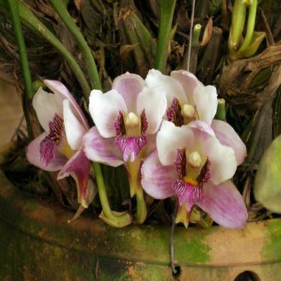 Orchidée Bifrenaria harrisoniae