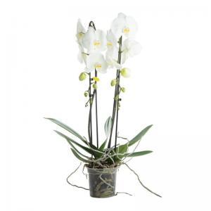 Orchidee cascade