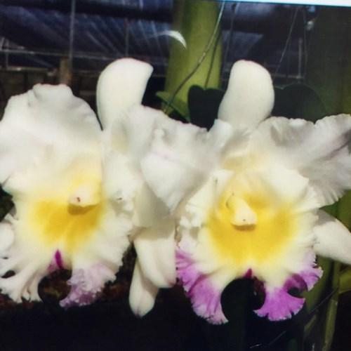 Orquídea Cattleya Elizabeth Hearn - Mahina Yahiro