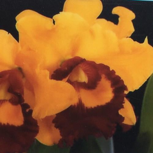Orchidea Cattleya Blc Village Chief Triump