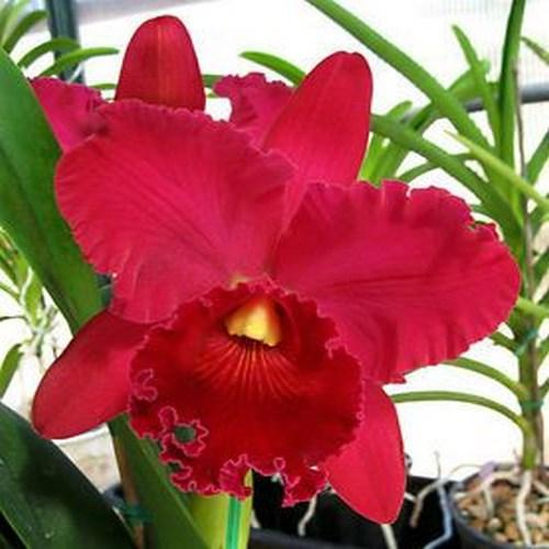 Orquídea Cattleya red diamond