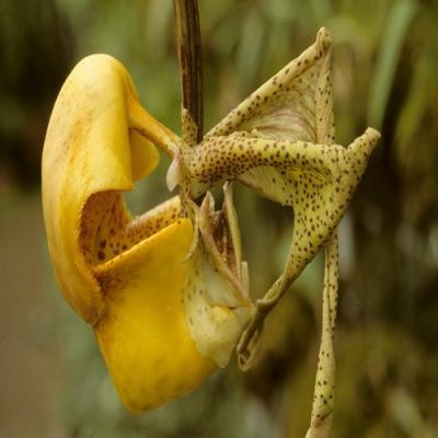Orchid Coryanthes bruchmuelleri