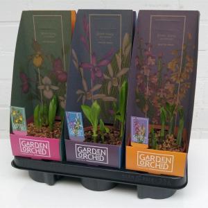 Orchidee de jardin