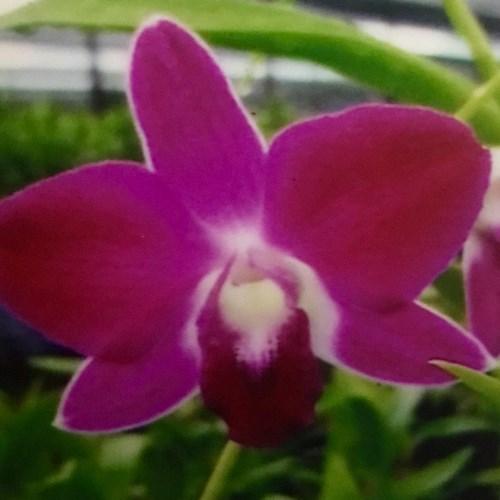 Orchidee dendrobium blue siam