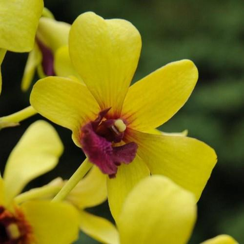 Orquídea Dendrobium burana jade yellow