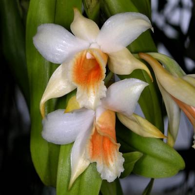 Orchidee dendrobium cariniferum
