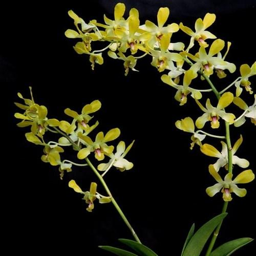 Orchidee dendrobium genting royal