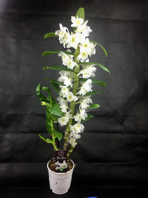 Orchidee dendrobium nobile apollon blanc