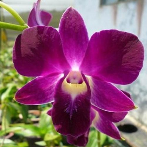 Orchidee Dendrobium red bull n2