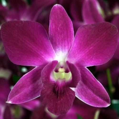 Orquídea Dendrobium royal ruby