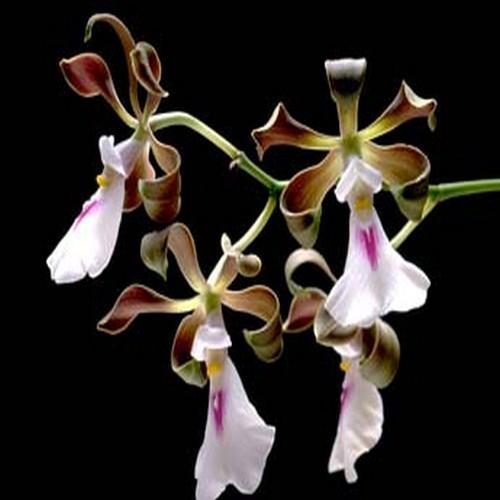 Orchidee Encyclia cordigera