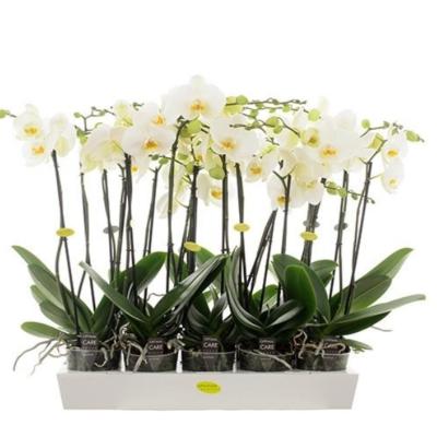 3 Orchidee Phalaenopsis 2 Zweige weiß