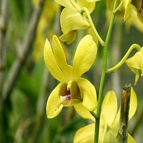 Orquídea Dendrobium supanburi gold