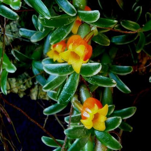 Orchidee Mediocalcar decoratum