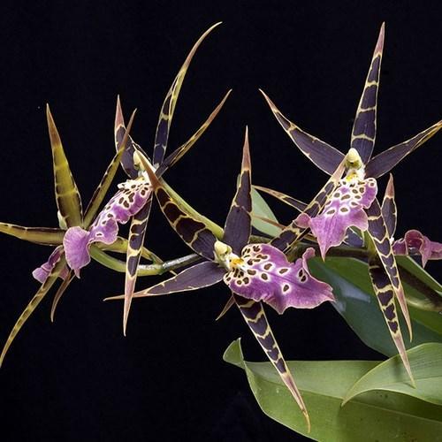Orquídea Miltassia shelob