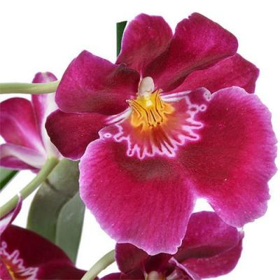 Orchidee Miltonia red
