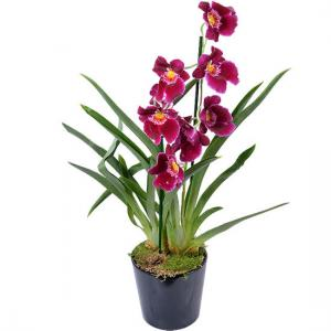 Orchidee miltonia red tide 550x550 28196