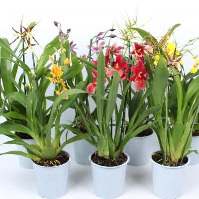 Mix 3 Orquídeas