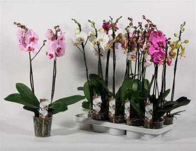 Mix 2 Orchids Phalaenopsis 2 spikes