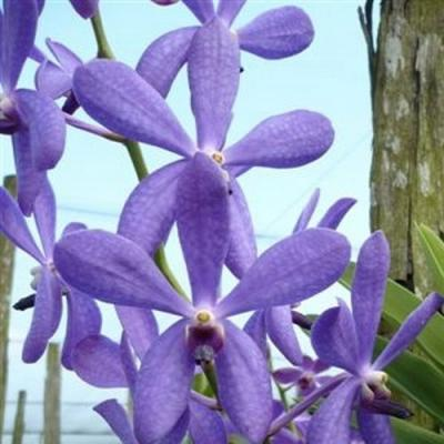 Orchidee mokara blue