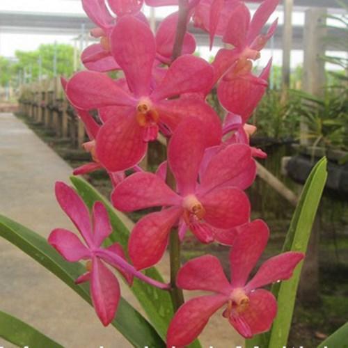 Orchidee Mokara jairak multishade red