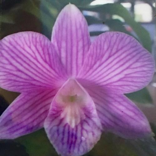 Orquídea Dendrobium Somrak White x Burana stripe