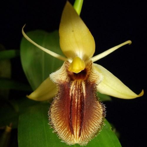 Orchid Coelogyne ovalis