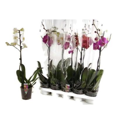 Orchidee pas chere cher fleurie cadeau