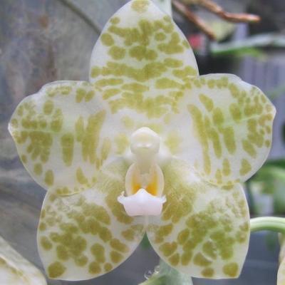 Orchidee Phalaenopsis gigantea alba