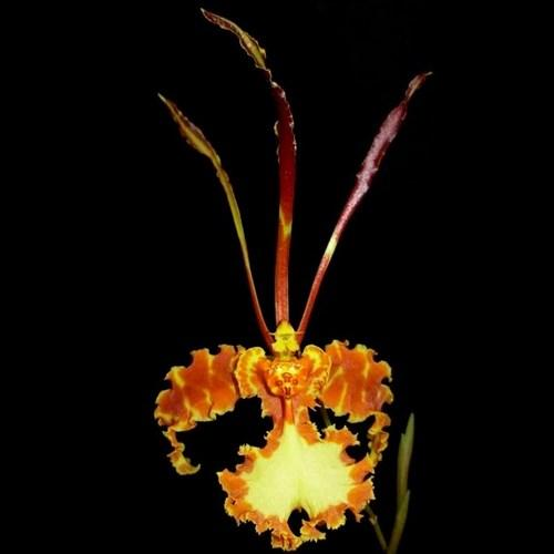 Orquídea Psychopsis mariposa