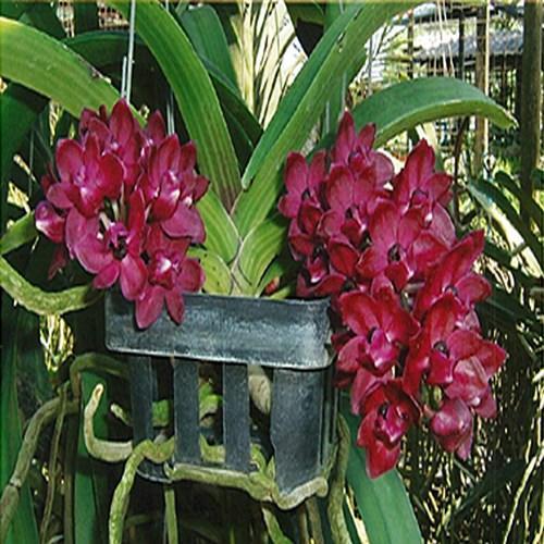 Orquídea Rhynchostylis gigantea Red