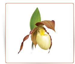 Orchidee rustique jardin achat vente