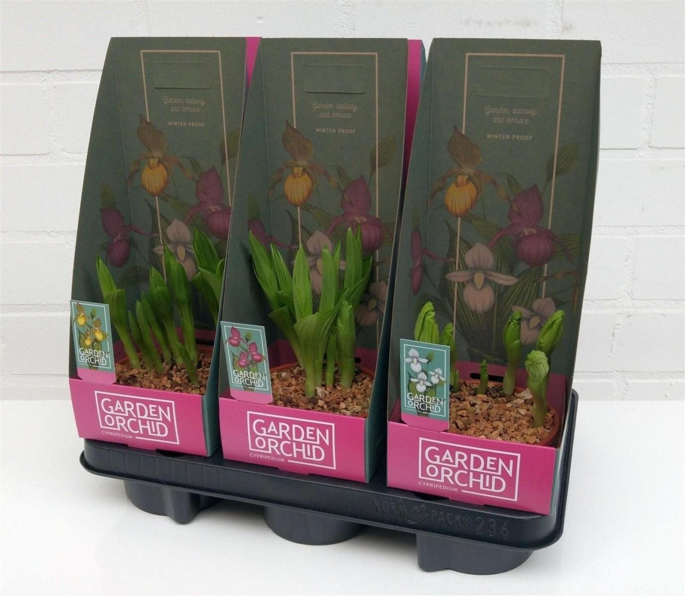 Orchidee rustique