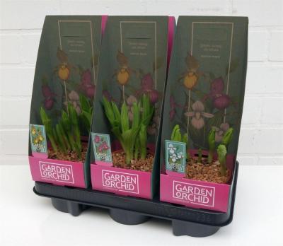Lot de 2 Orchidées rustiques