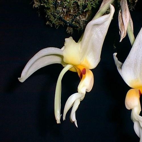 Orquídea Stanhopea lietzei