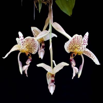 Orchid Stanhopea oculata