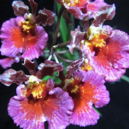 Orchidee Tolumnia Jairak Flyer Carnation