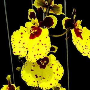 Orchidee tolumnia jairak super bright
