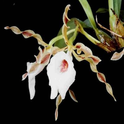 Orchidée Trichopilia tortilis