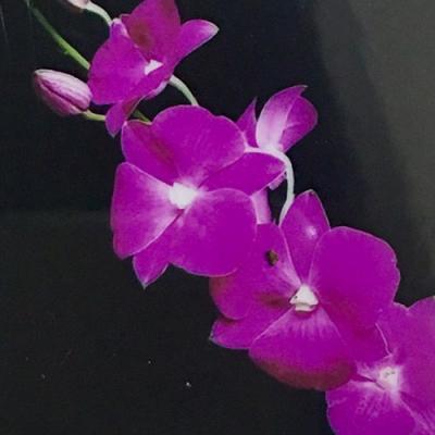 Orchidée Dendrobium Tubtim siam x Classic gems