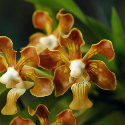 Orchidee vanda concolor