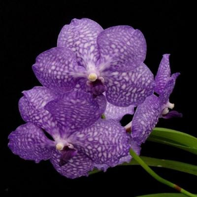 Orchidée Vanda kultana purplish