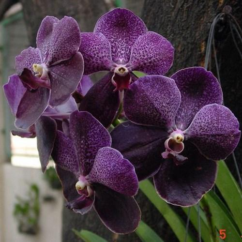 Orchid Vanda Miami Magic