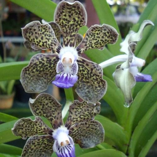 Orchid Vanda mimi palmer