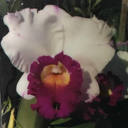 Orchidée Cattleya Rlc Ann Joy