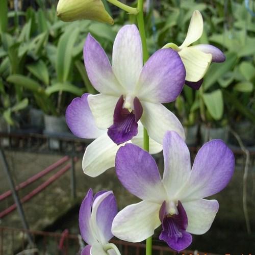 Orquídea Dendrobium aridang blue
