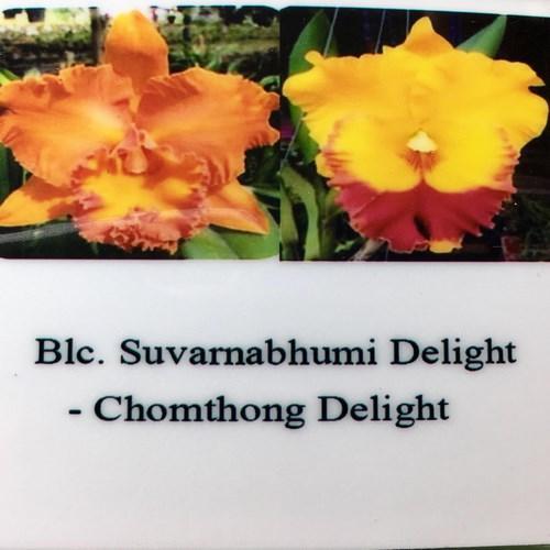 Orquídea Cattleya Suvarnabhumi delight x Chomthong Delight